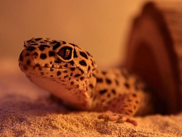 leopard gecko looking into a camera