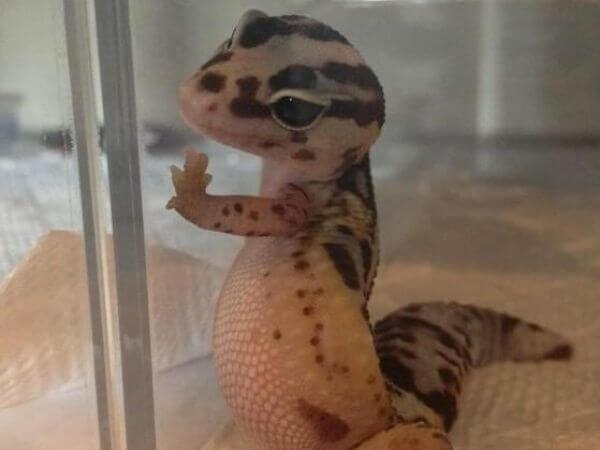 leopard geckos do not like to be bathed