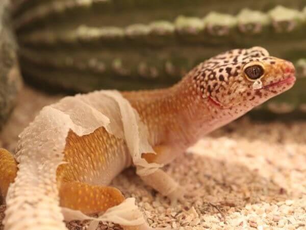 leopard gecko shedding his skin