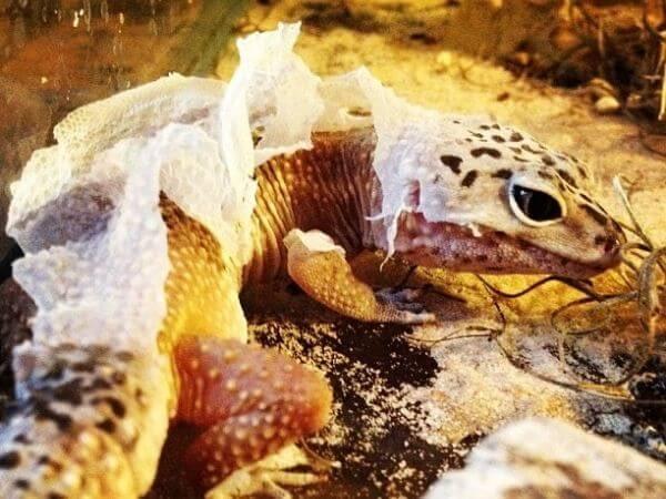 leopard gecko as a pet shedding his skin