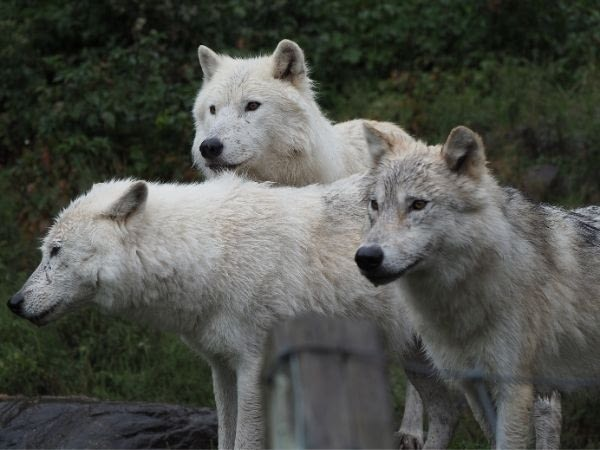 A herd of arctic wolves standing on a mountain