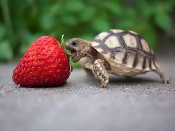 turtle eating a strawberry