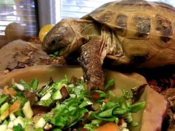 turtle eating from a bowl of vegetables