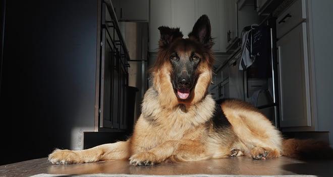 mix breeds of german shepherd