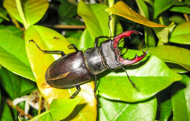 10 amazing facts about Stag Beetle