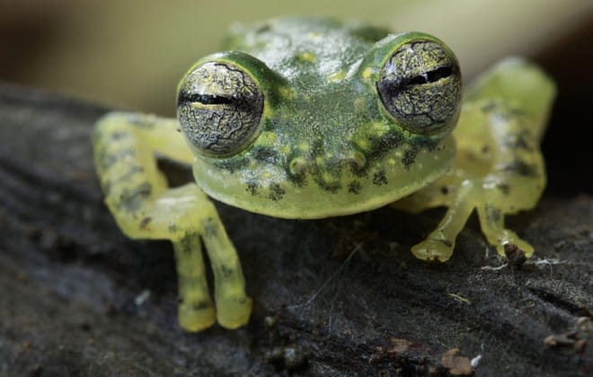 Amazing facts about Glass Frogs