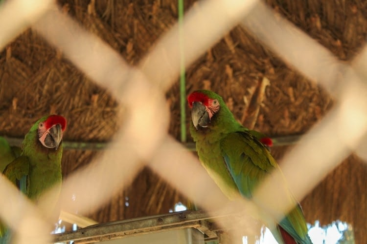 Natural home for an Indian Ring-Necked Parakeet