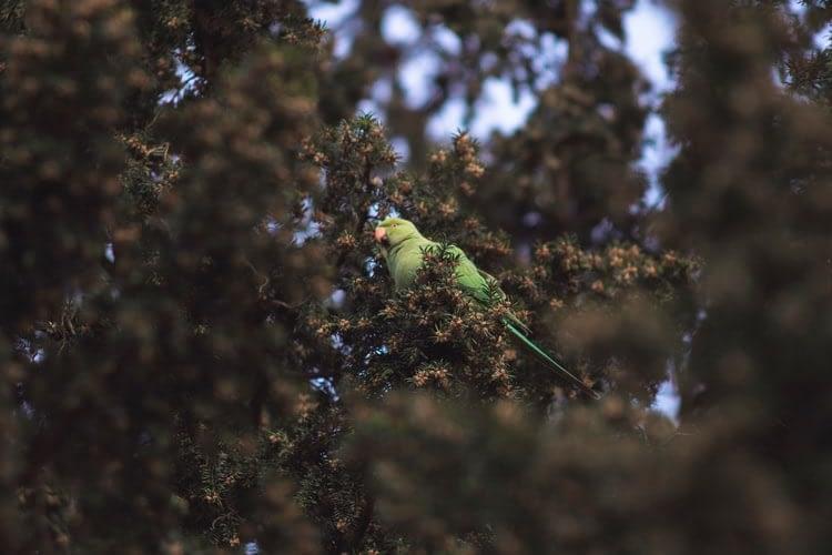Indian Ring-Necked Parakeet as a pet